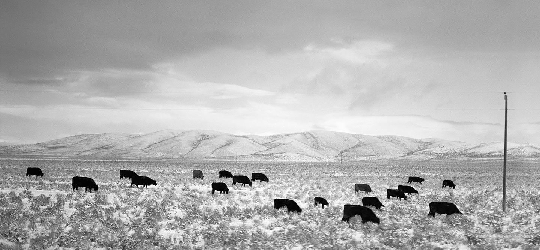 Rod Mclean - cows in a field